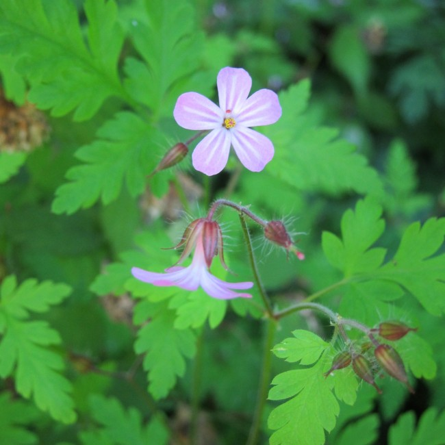 Herb Robert - Natural Dye Journal